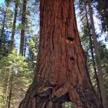 Image: Pioneer Cabin Tree