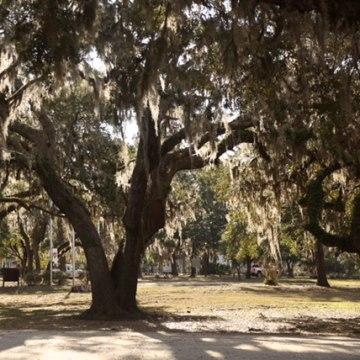 Image: Penn Center Tree