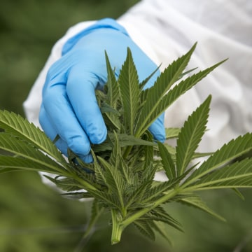 Image: An Israeli woman works on marijuana plants at a medical cannabis plantation, near Kfar Pines in northern Israel, on March 9, 2016.
