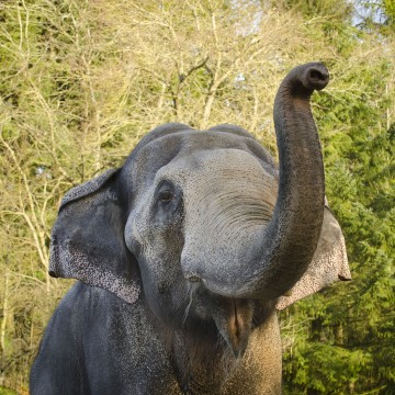 Image: Packy as he approached his 50th birthday at the Oregon Zoo
