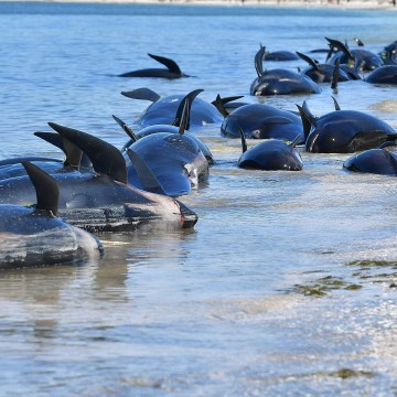 Image: Dead pilot whales line the shore at Farewell Spit, Saturday.
