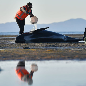Image: NZEALAND-ANIMAL-WHALES-CONSERVATION