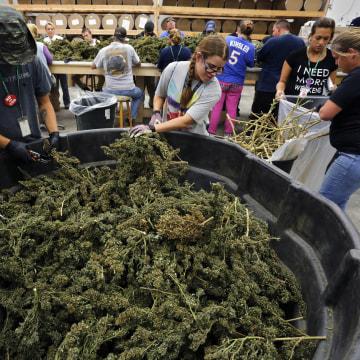 Image: Farmworkers process newly-harvested marijuana plants