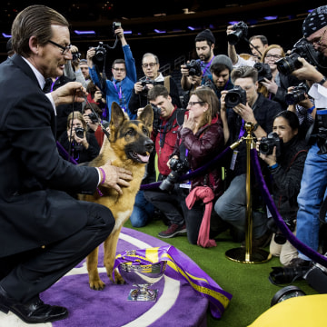 Image: Canine Champions Compete In The Westminster Dog Show