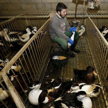 Image: Fois gras producer Robin Arribit force-feeds a duck with corn in La Bastide Clairence