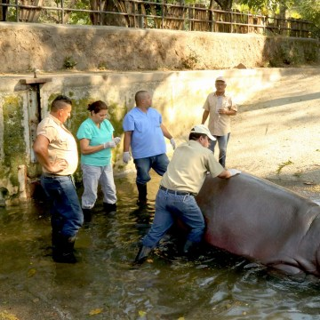 Image: Gustavito the hippo