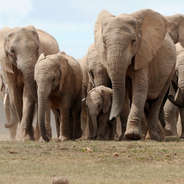 Image: A head of African elephants walks in Addo Elephant National Park, some 60 kms outside of Port Elizabeth on Nov. 15, 2009.