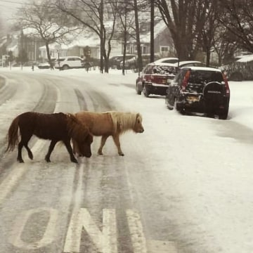 IMAGE: Ponies frolic in New York snow