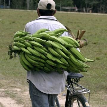 Image: Tsimane man transports bananas  in La Embocada town, Bolivia