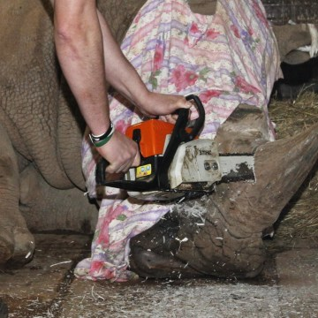 Image: Removes a horn of Southern White Rhino