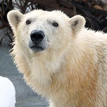 Image: A photo of Rizzo the polar bear handed out by Utah's Hogle Zoo.