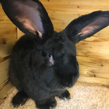 Image: Simon, a giant rabbit from Worcestershire, England who died on a United Airlines flight