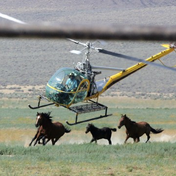 Image: A livestock helicopter pilot rounds up wild horses from the Fox & Lake Herd Management Area from the range in Washoe County, Nevada
