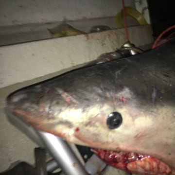 The shark that landed in Terry Selwood's boat.