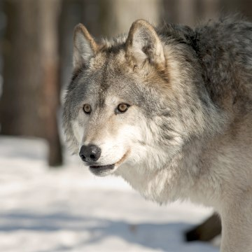 Image: Gray Wolf, Snow, wintertime