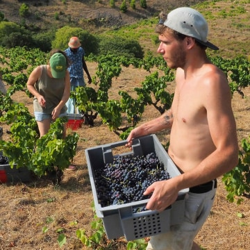 Image: Grapepickers in France