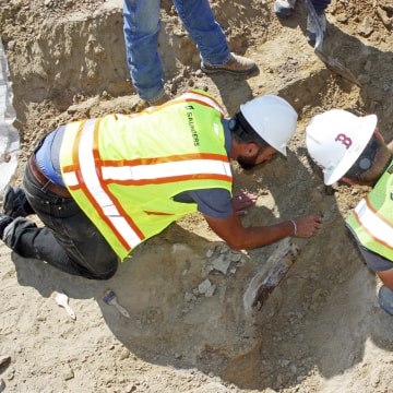 Image: Workers unearth a fossil of a triceratops dinosaur