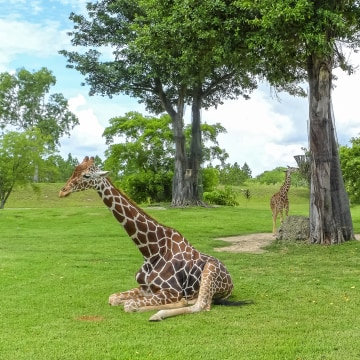 Image: Giraffes at Zoo Miami