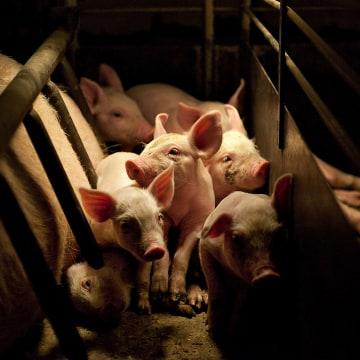 Image: General Views Of Pig Farming At A Lehmann Bros. Farm LLC