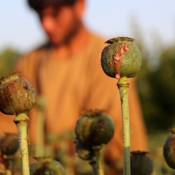 Image: The UN says opium production in Afghanistan grew by 87 percent in 2017.