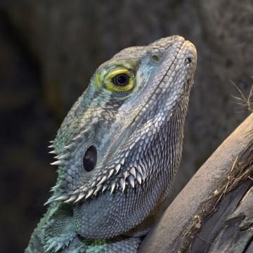 Image: Central bearded dragon / Inland bearded dragon (Pogona vitticeps) in Tree