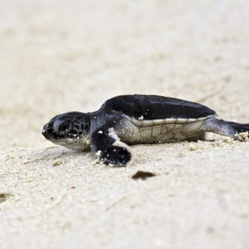 Image: Green Turtle