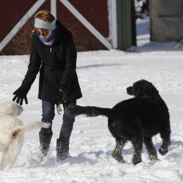 Image: Labradoodles Eva and Adam play with owner Susan Chester