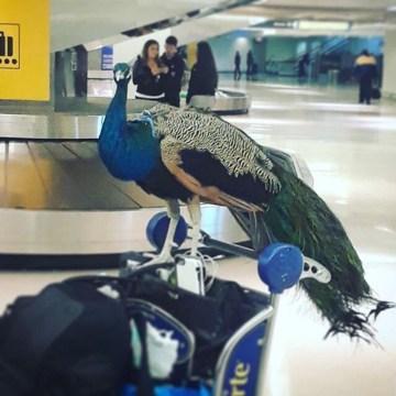 Image: Service Peacock