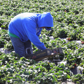 Farm workers harvest for Costco.