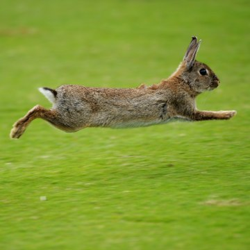 CASCAIS, PORTUGAL - APRIL 05:  A rabbit runs across the fairway during the third round of The Estoril Open de Portugal The Oitavos Dunes Golf Course o...