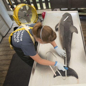 Sarah Rose, left, with the Virginia Aquarium Stranding Response Team begins a necropsy on a dead dolphin at the Virginia Aquarium Marine Animal Care C...
