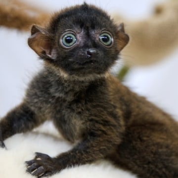 """Dimbi"", a blue-eyed black lemur cub (Eulemur flavifrons) is pictured at the zoo of Mulhouse, northeastern France, on April 19, 2013. There's currentl..."