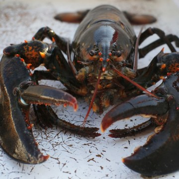 Demand for Maine lobsters is running high, but prices remain flat, pinching profits, so the state is looking to diversi...