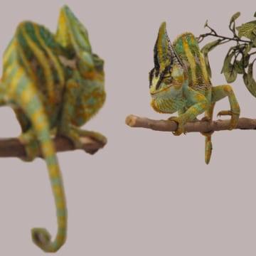 Image: Chameleons