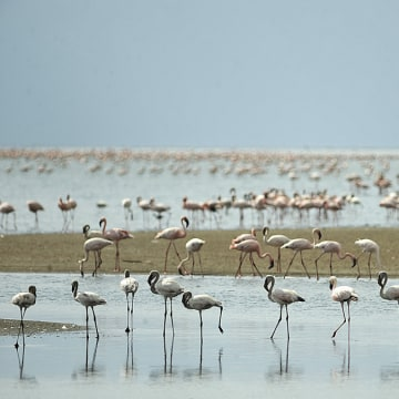 TO GO WITH AFP STORY BY HELEN VESPERINI-                                   Lesser flamingoes are pictured on September 30, 2011 in Lake Natron. Salmon-coloured clouds of flamingos s...