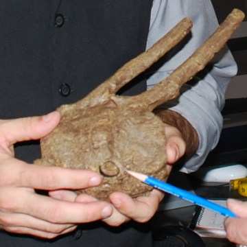 A T. rex tooth was found lodged in the rear vertebrae of a duck-billed dinosaur.