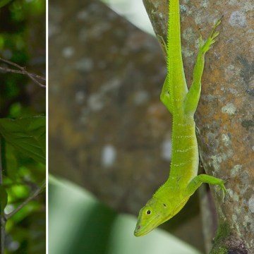 Giant tree crown lizards in Puerto Rico (left) and Jamaica (right) evolved to look the same way.