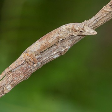 Twig dwellers from Cuba (left) and Puerto Rico (right) independently evolved the same TKTKTKTKTK.