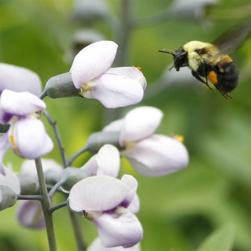 A bumble bee searches for pollen during a spring day in New York, May 23, 2012. REUTERS/Brendan McDermid