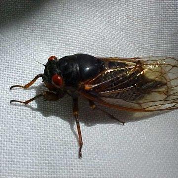Image: Cicada