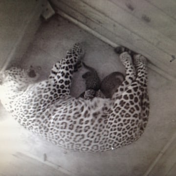 The Persian leopard declined drastically throughout the 20th century due to poaching and habitat loss.