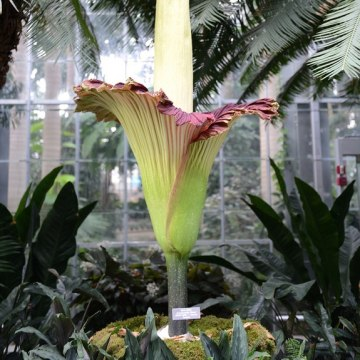 The super-stenchlike titan arum in bloom on July 22, 2013.