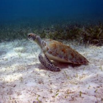 A green turtle in protected waters.