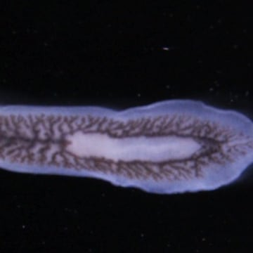 One whole flatworm.