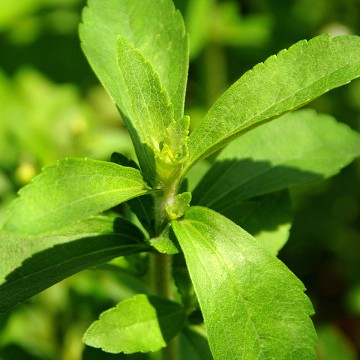 "A stevia plant, known as ""sweet herb"", or ""ka´a he´e"" in the native Guarani language, is seen in a plantation in Caacupe, 50 kms east of Asuncion, P..."