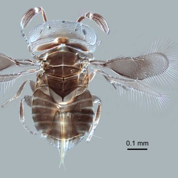 This newly discovered wasp genus from Borneo is just a millimeter long.