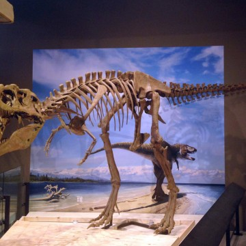 This photo released by the Natural History Museum of Utah shows the fossilized skeleton of a newly-discovered dinosaur, Lythronax argestes, which was ...