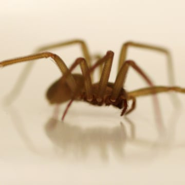 A live Brown Recluse Spider