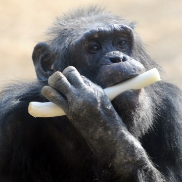 A Chimpanzee munches on leek at Tokyo's Tama Zoo in February.