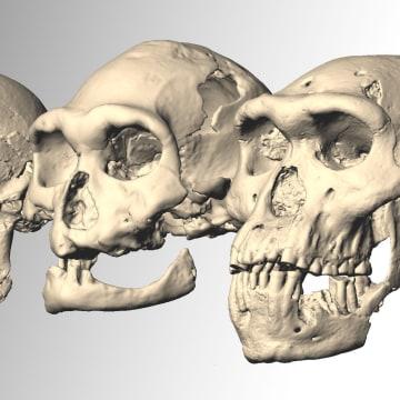 Image: Dmanisi skulls
